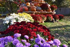 Colorful autumn flowers stock images royalty free stock photos
