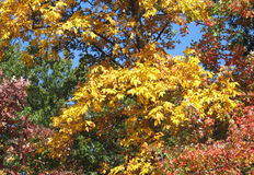 Colorful autumn foliage. Of hickory, maple and oak trees Royalty Free Stock Photos
