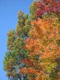 Colorful autumn foliage. Against a bright blue sky Stock Image