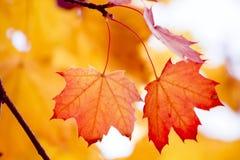 Colorful autumn foliage. Beautiful maple foliage in fall Stock Image