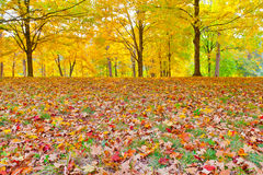 Colorful autumn foliage. Sunny day in park.  Bernheim Arboretum and Research Forest near Louisville, Kentucky Stock Images