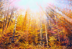 Colorful Autumn forest with blue sky and sun rays Royalty Free Stock Image