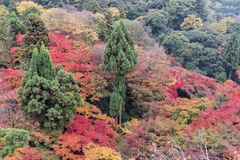 Colorful autumn forest in Kiyomizu Buddhist Temple in Kyoto, Japan Stock Photo