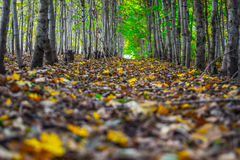 Colorful Autumn forest. Leaves on the ground Royalty Free Stock Photo
