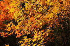 Colorful autumn forest. It is autumn leaves of the forest. Japan November Royalty Free Stock Photo