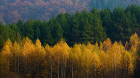 Colorful autumn forest Royalty Free Stock Photo