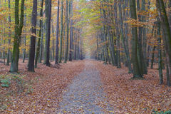 Colorful autumn forest path (W). Colorful autumn forest path (Wide Stock Photo
