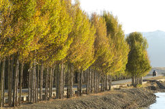 Colorful Autumn Golden Aspen Trees Royalty Free Stock Images