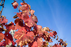 Colorful autumn grape leaves against the sky. Grape leaves in autumn on a background of the sky Royalty Free Stock Image