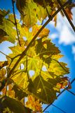 Colorful Autumn Grape Leaves. Rich colored vine leaves on a sunny autumn day Royalty Free Stock Photo