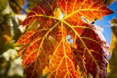 Colorful Autumn Grape Leaves. Rich colored vine leaves on a sunny autumn day Stock Photography