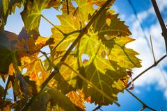 Colorful Autumn Grape Leaves. Rich colored vine leaves on a sunny autumn day Stock Image