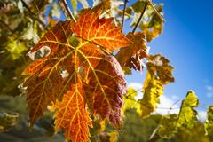 Colorful Autumn Grape Leaves. Rich colored vine leaves on a sunny autumn day Stock Photo