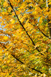 Colorful autumn hornbeam foliage Royalty Free Stock Photos