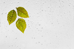 Colorful autumn  hornbeam leaves and raindrops on the window. Stock Photo