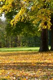 The colorful autumn landscape. Many yellow maple leaves on the ground Stock Photography