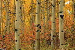 Colorful autumn landscape with aspens. Stock Images