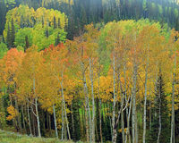 Colorful autumn landscape with aspens. Colorful fall landscape with Golden aspens, Utah, USA Royalty Free Stock Photo