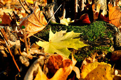 Colorful autumn landscape - maple leaves on the tree stump Stock Photo