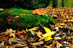 Colorful autumn landscape - oak leaf on the tree log in the forest Stock Photo