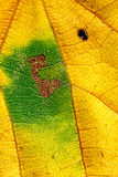 Colorful autumn leaf. Closeup of a colorful yellow and green autumn leaf Stock Image