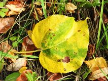 Colorful autumn leaf on the ground, Lithuania royalty free stock photo