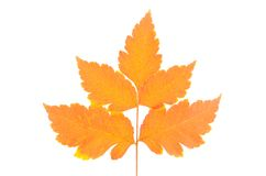 Colorful autumn leaf isolated on white Royalty Free Stock Photos