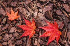 Colorful Autumn Leaf Pattern on Textured Mulch Background. Small, medium, and large brightly colored Japanese Maple leaves in a curved pattern highlight the Stock Photo