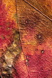 Colorful autumn leaf. Textured surface of a red and brown autumn leaf Stock Images