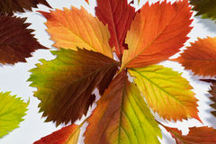Colorful autumn leaf Royalty Free Stock Image