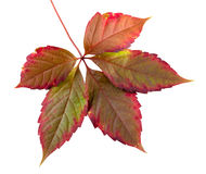 Colorful autumn leaf. On a white background isolated Stock Photo