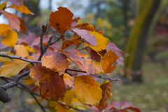 Colorful Autumn leafs. Colorful Autumn leaf on tree Royalty Free Stock Photo