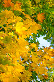 Colorful Autumn Leafs on the Tree over Deep Blue Sky Stock Photography
