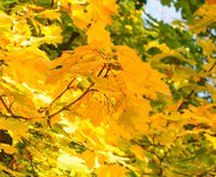Colorful Autumn Leafs on the Tree over Deep Blue Sky Royalty Free Stock Images
