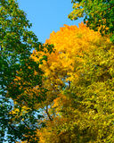 Colorful Autumn Leafs on the Tree over Deep Blue Sky Stock Image