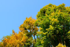 Colorful Autumn Leafs on the Tree over Deep Blue Sky Stock Photos