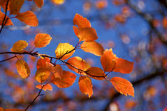 Colorful Autumn Leaves. Bright leaves of autumn in tints of yellow, orange and red against the blue sky. Soft focus, suitable for a background Royalty Free Stock Photo
