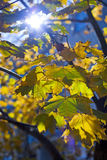 Colorful autumn leaves. Royalty Free Stock Image