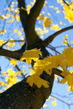 Colorful autumn leaves. Royalty Free Stock Photos