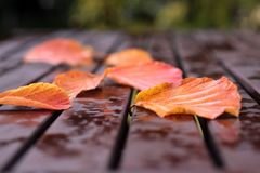 Colorful autumn leaves. On a wet wooden table Royalty Free Stock Image
