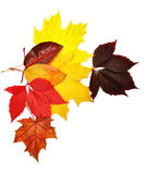 Colorful autumn leaves. Over white background with clipping path Stock Images