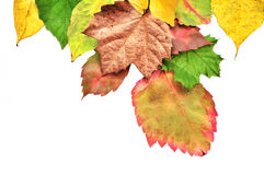 Colorful Autumn Leaves. Colorful Fall Leaves Isolated on White Background Royalty Free Stock Image