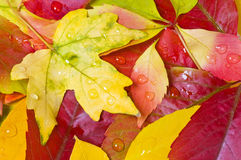 Colorful autumn leaves. And drops of water Royalty Free Stock Photos