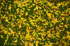 Colorful autumn leaves. Stock Images