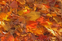 Colorful autumn leaves Royalty Free Stock Photography