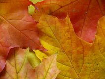 Colorful autumn leaves. Background of colorful autumn leaves Stock Images