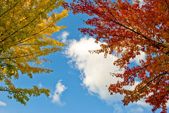 Colorful autumn leaves. Scenic view of colorful autumn leaves on tree, blue sky background Stock Images