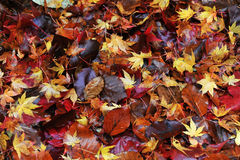 Colorful autumn leaves. On the ground in the famous butchart gardens, vancouver island, british columbia, canada Stock Photo