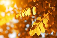 Colorful autumn leaves of Acacia or Black Locust. Royalty Free Stock Photo