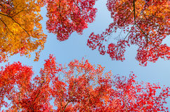 Colorful autumn leaves against blue. Sky background Stock Image